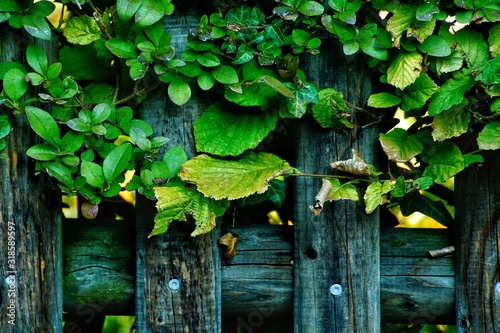 CLOSE-UP OF IVY GROWING ON TREE Fototapeta