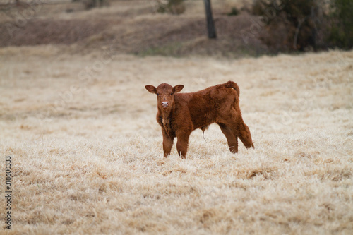 Red Angus calf in an autumn pasture Canvas Print