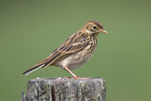 Meadow Pipit Perched On Post