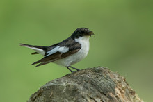 Pied Flycatcher Perched