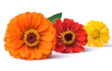 Three Zinnia Flowers