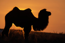 Silhouette Of A Bactrian Camel