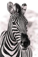 Zebra Black And White In The A...