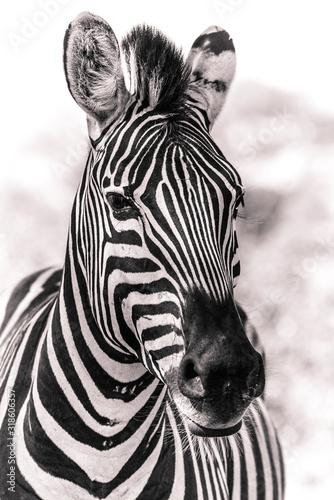 Fotografia Zebra Black and White in the African wilderness