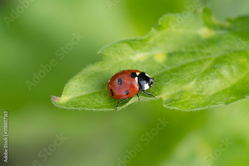 Photographie Ladybug on a green leaf close up