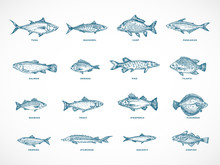 Hand Drawn Ocean Or Sea And River Fish Illustration Bundle. A Collection Of Salmon And Tuna Or Pike And Anchovy, Herring, Trout, Dorado Sketches Silhouettes.