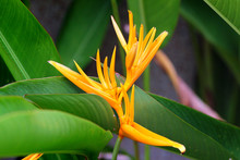 Yellow Parrot Flower, Heliconia, Or Strelitzia, In A Flower Garden With Green Leaves Background