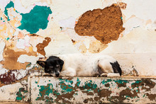 Brazilian Stray Dog Sleeping Next To Colorful Wall In Ruins