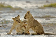 Lion Cubs Playing On Field