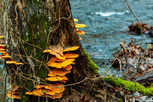 Mushrooms On A Rotting Tree.