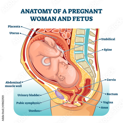 Photo Anatomy of a pregnant woman and fetus labeled diagram, vector illustration medic