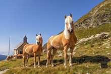 Haflinger Horses On Alpine Pas...