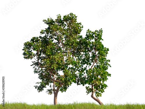 isolated tree on white background Slika na platnu