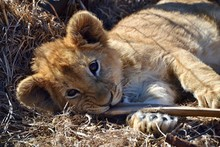 Portrait Of Lion Cub Relaxing Outdoors
