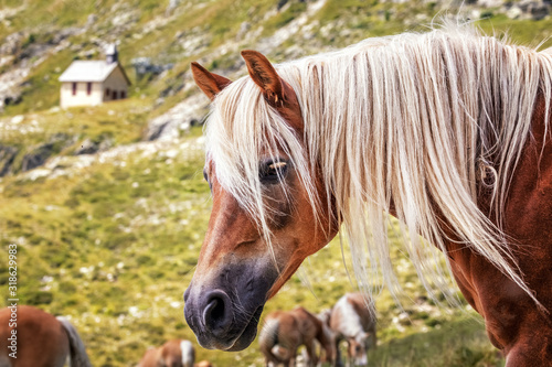 Photographie Haflinger horses on alpine pasture near Merano in South Tyrol, Italy