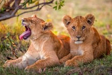 Lion Cubs Relaxing On Grassy Field