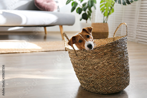 Fototapeta Cute four months old Jack Russel terrier puppy with folded ears at home