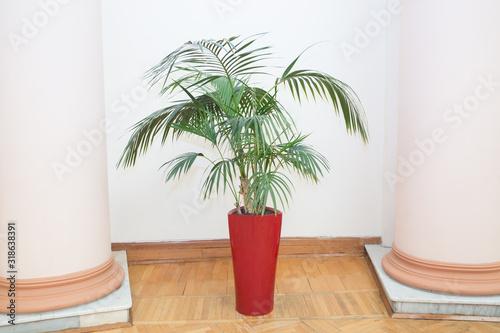 Decorative Areca palm in a red pot Canvas Print