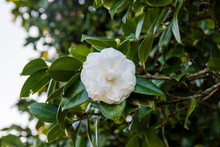 White Camellia Opening In The Green Tree