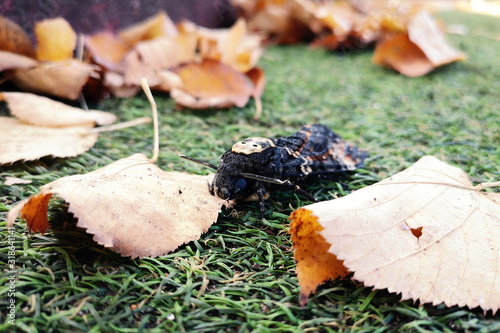 Photo Photograph of the butterfly The dead head sphinx - Acherontia atropos Linnaeus, in a park during autumn with brown leaves on the ground