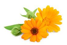 Calendula. Marigold Flower Wit...