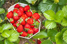 Strawberry Plant With Freshly ...