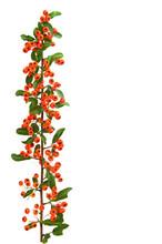 Firethorn Branch (Pyracantha),...