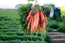 Cropped Hand Of Man Holding Carrots At Farm