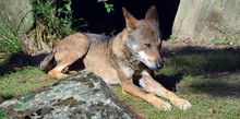 The Iberian Wolf (Canis Lupus ...