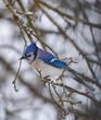 Bluejay in wintery tree