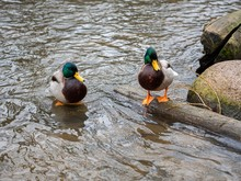 Beautiful Mallards In Clear Water Near The Riverbank