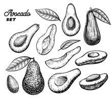 Avocado Vector Engraving Sketc...