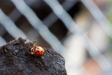 Closeup Shot Of A Ladybug On A...