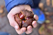 Boy Holding Chestnuts In His Hand, Sweden, 2019