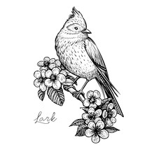 Sitting Spring Bird On The Blooming Cherry Branch., Vintage Hand Drawn Vector Illustration.