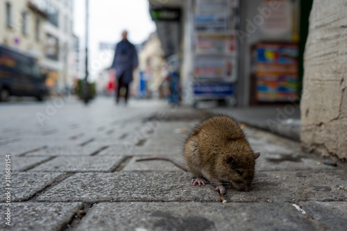 Fototapeta Rat On Cobbled Street In City
