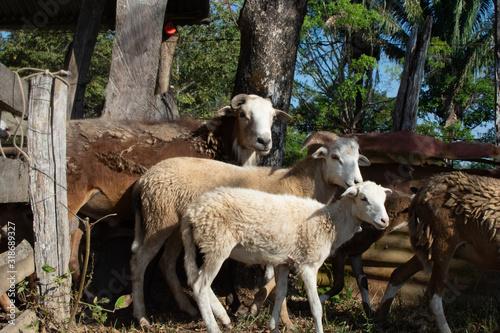 Goats flock in a pen Wallpaper Mural