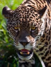 Portrait Of A Wild Jaguar