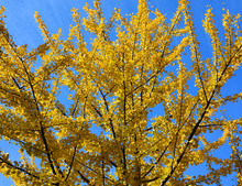 In Fall Ginkgo Biloba, Commonly Known As Ginkgo Or Gingko Also Known As The Maidenhair Tree Is The Only Living Species In The Division Ginkgophyta, All Others Being Extinct