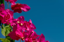 Bougainvillea Branches With Pu...