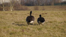 Rear View Of Canada Geese Perching On Grassy Field