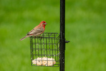 Male House Finch Eating At Bir...
