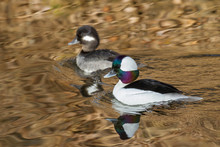 Waterfowl Of Colorado. Male An...