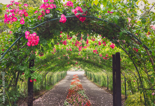 Photo Pretty Path Through a Rose Arbor Tunnel with Pink Roses