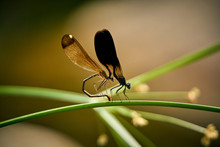 Close-up Of Dragonflies Mating