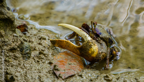 closeup portrait of a male fiddler crab with a huge claw, tropical crustacean sp Canvas Print