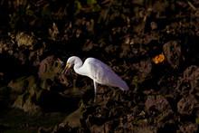 Agile Egret Is Successful Hunter From Coastal Rocks