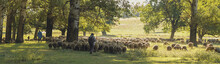 Sheep And Goats Graze On Green...