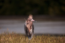 Funny Reddish Egret Wading Bird Egretta Rufescens Having A Bad Hair Day