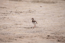 Ruddy Turnstone Bird Arenaria ...